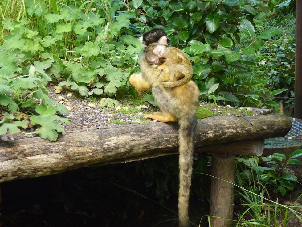Affenmutter und ihr Junges.