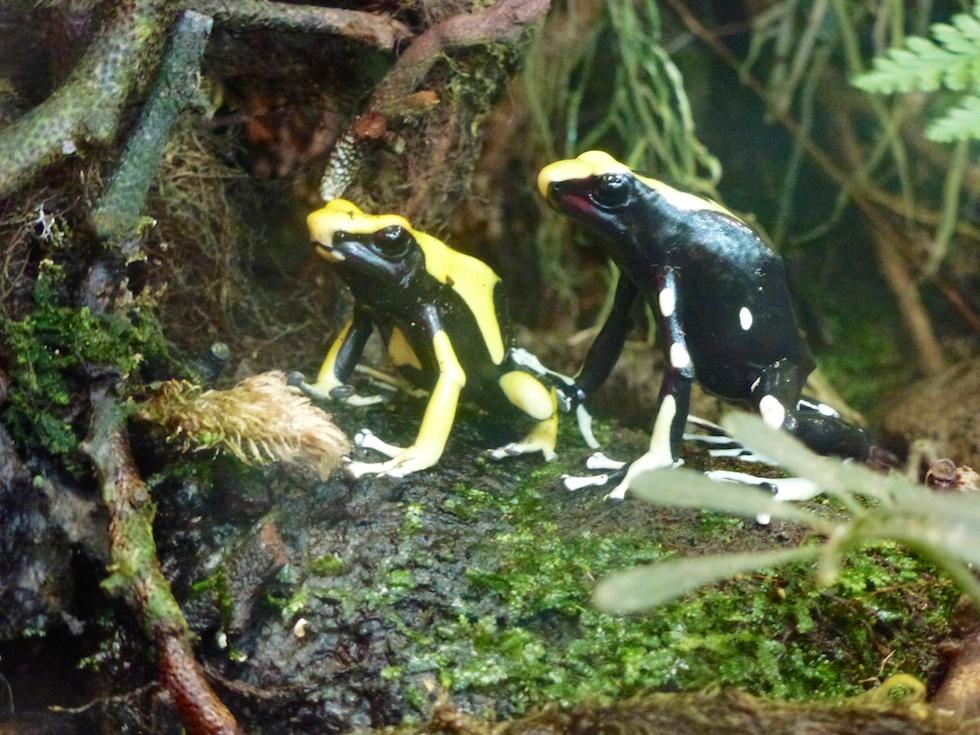 Auch Frösche gibts im Zoo Zürich zu entdecken
