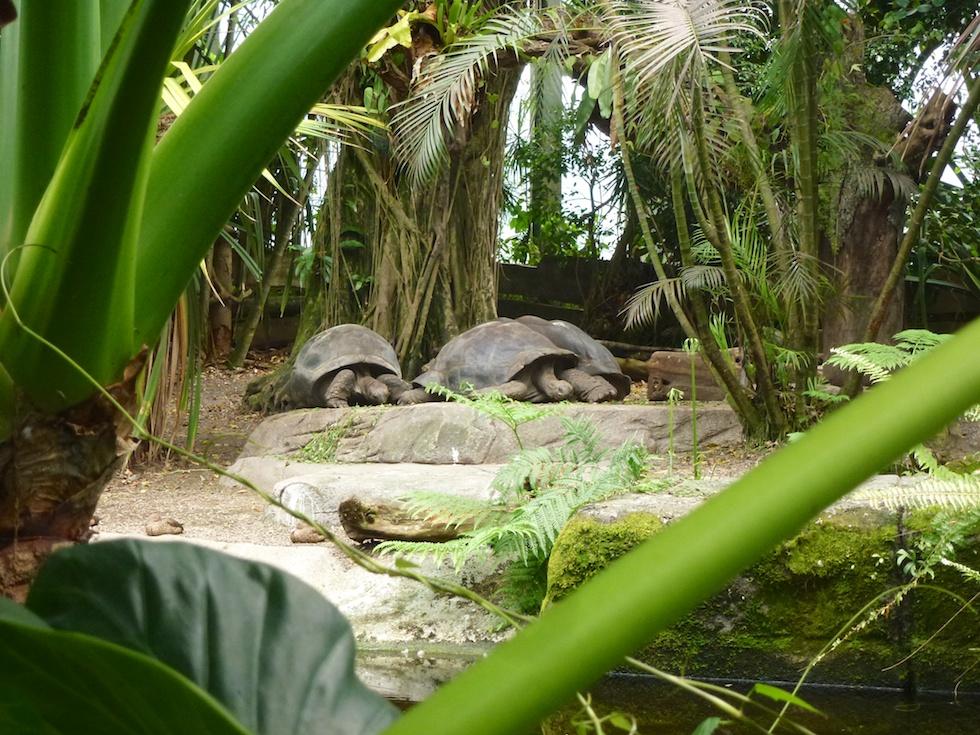 Auch Riesenschildkröten fühlen sich in der Masoala-Halle wohl
