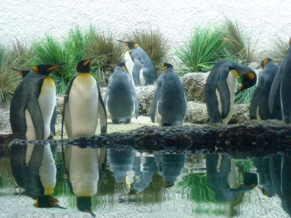 Sie dürfen nicht fehlen: Die Pinguine im Zoo Zürich