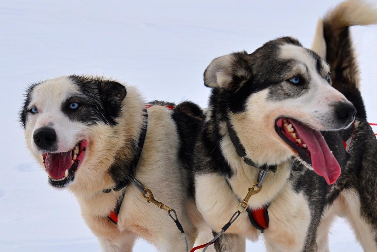 Faszinierende Huskies: Als ob sie nur rennen im Kopf hätten