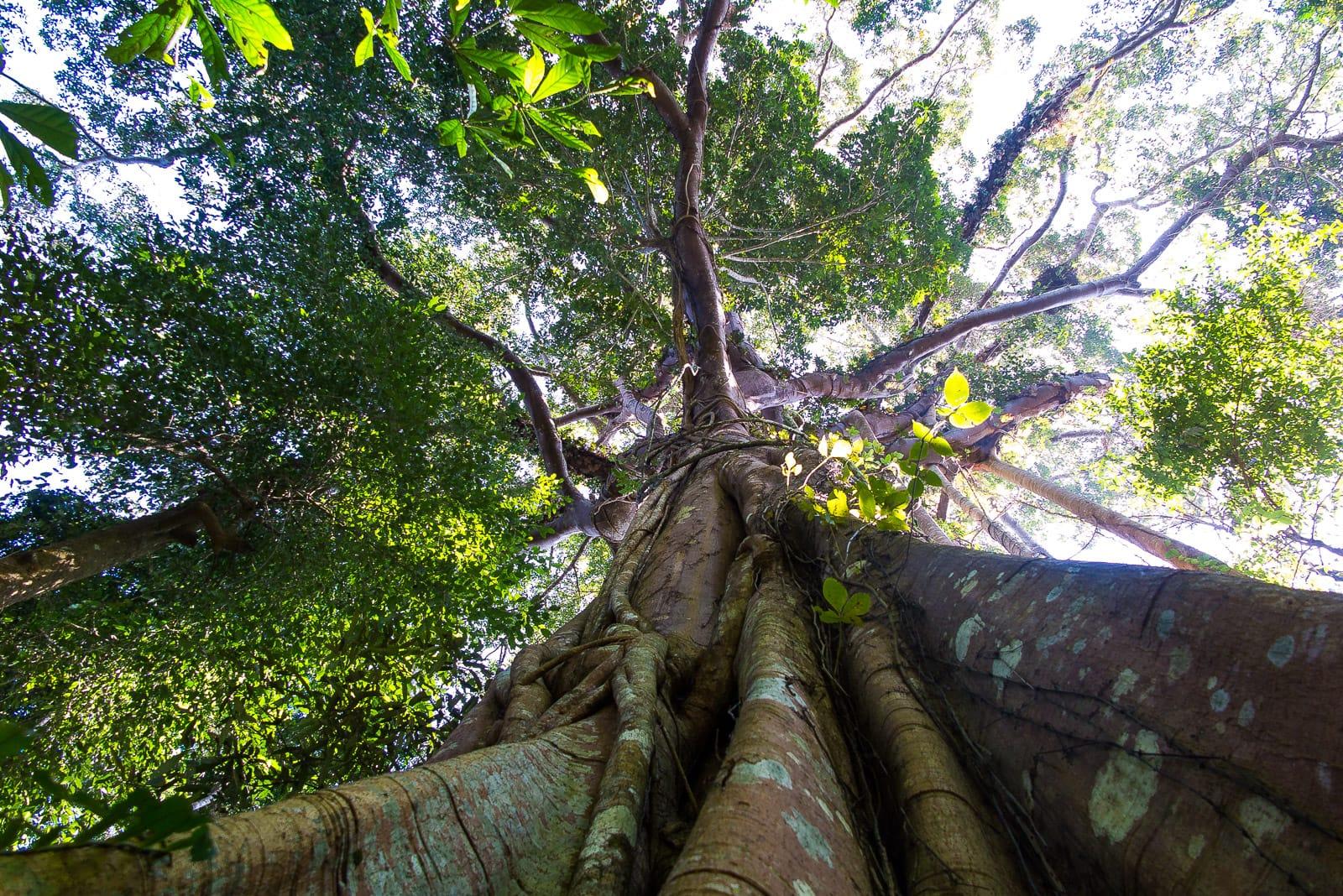 Spektakulär: Uralte Bäume im Khao Yai-Nationalpark